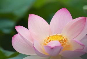 loto flor